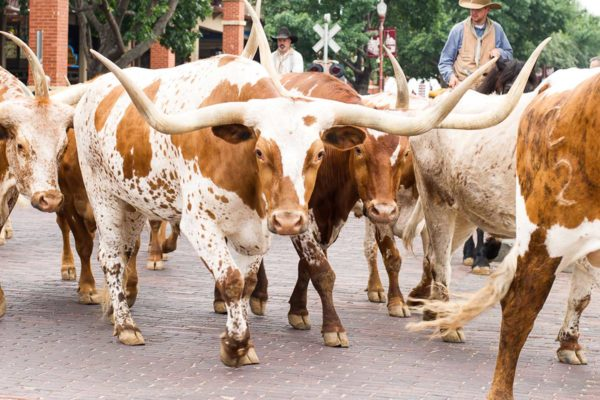 Fort Worth Stockyard Cattle Drive