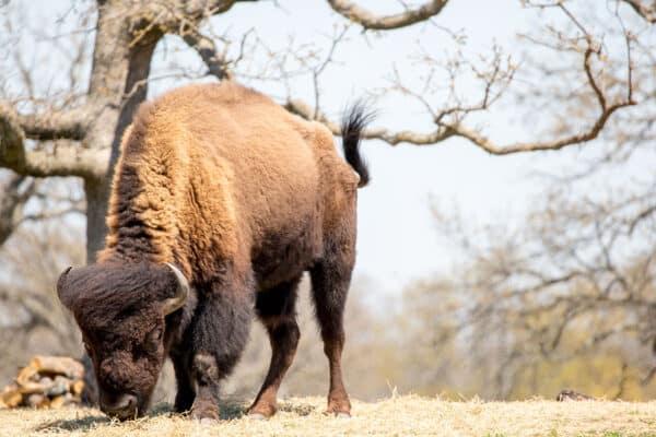 Buffalo on the Prairie